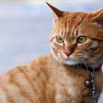 猫の首輪、必要性と選び方