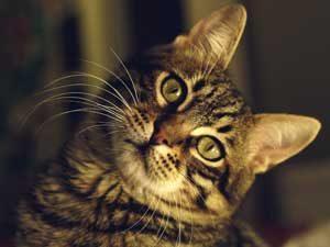 ペットショップで売られている猫種と人気の猫種