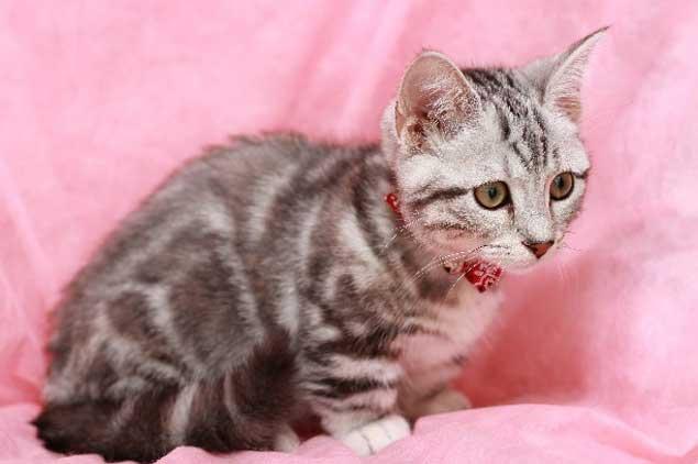 ペットショップで猫を購入する