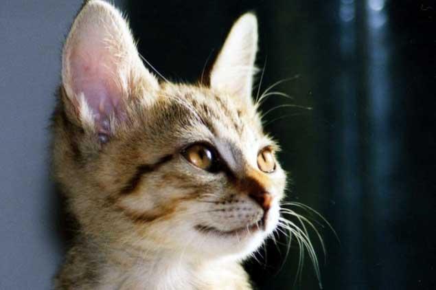 里親サイトから猫を探す