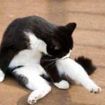 猫の肛門腺のお手入れ